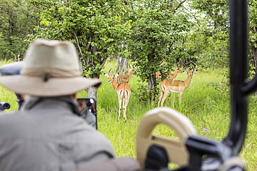 A safari guide looking at impala from safari vehicle, Botswana