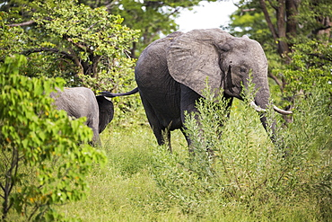 Two African elephant, Loxodonta africana, among trees in the bush, Botswana