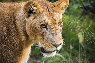 Close up, a female lion, head and shoulders, Botswana
