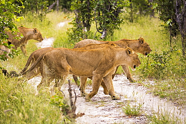 A pride of female lions crossing a dirt track, Botswana