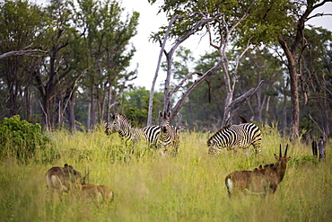 A group of oryx and zebra in long grass, heads raised, Botswana