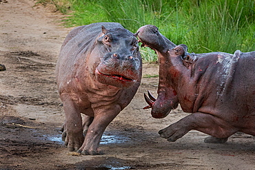 Two hippos, Hippopotamus amphibius, fight on land, mouth open, blood visible, Sabi Sands, Greater Kruger National Park, South Africa