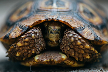Close up of a leopard tortoise, Stigmochelys pardalis, feet and head coming out of it's shell, Sabi Sands, Greater Kruger National Park, South Africa