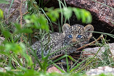 A leopard cub, Panthera pardus, lies in between grass, looking out of frame, blue eyes, Sabi Sands, Greater Kruger National Park, South Africa