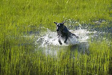 A black Labrador dog bounding through shallow water, Uinta National Forest, Utah, USA