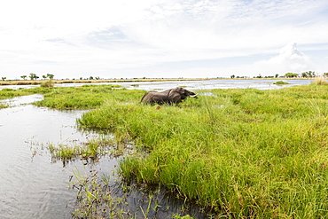 A mature elephant with tusks wading through water and reeds, Okavango Delta, Botswana