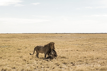 Male lion and dead wildebeest, Kalahari Desert, Botswana