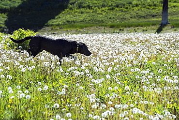A black Labrador dog in tall meadow grass, Uinta National Forest, Utah, USA