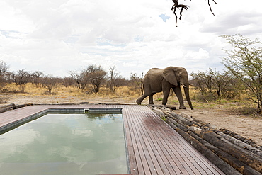 An elephant standing beside a swimming pool, Okavango Delta, Botswana