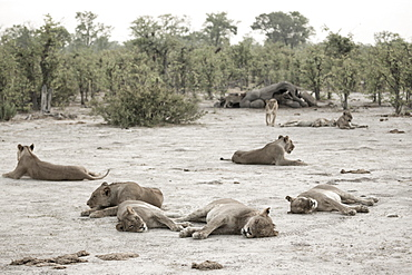 A pride of lions resting after feeding on a dead elephant, Okavango Delta, Botswana