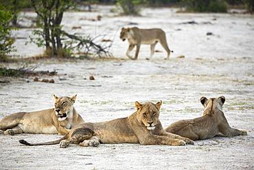 A pride of female lions resting, Okavango Delta, Botswana