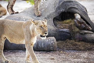 A mature female lion by a dead elephant carcass, Okavango Delta, Botswana