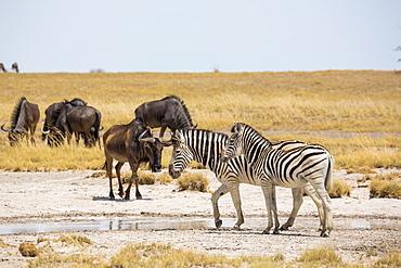 Burchell's zebra and Wildebeest, Kalahari Desert, Makgadikgadi Salt Pans, Botswana