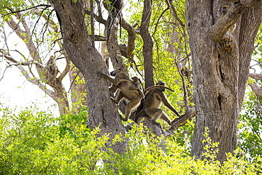 A family of baboons under the trees in a game reserve
