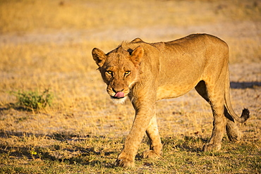 A lioness on her feet, walking across sand