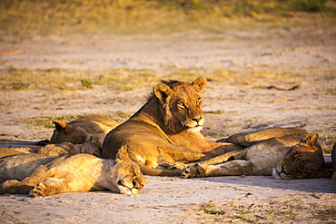 A group of lions resting in shade