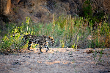 A leopard, Panthera pardus, walks through a sand bank, front leg raised, looking out of frame, sunlight, Sabi Sands, Greater Kruger National Park, South Africa