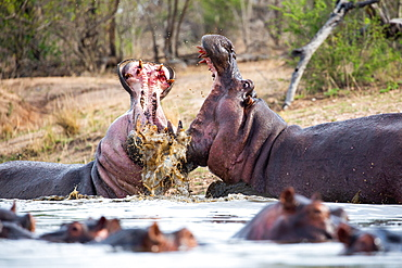 Two hippos, Hippopotamus amphibius, open their mouths while fighting in water, teeth and blood visible, Sabi Sands, Greater Kruger National Park, South Africa