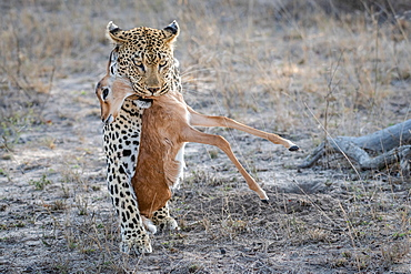 A leopard, Panthera pardus, walks towards the camera, holding an impala calf carcass in its mouth, Aepyceros melampus, Sabi Sands, Greater Kruger National Park, South Africa