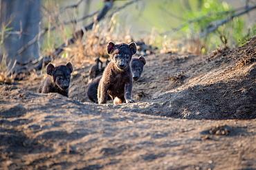 Hyena cubs, Crocuta crocuta, walk out of their den site, ears perked up in the sunlight, Sabi Sands, Greater Kruger National Park, South Africa