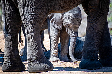 An elephant calf, Loxodonta africana, is framed by the legs of its mother, looking down, Sabi Sands, Greater Kruger National Park, South Africa
