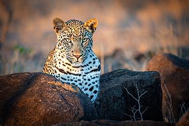 A leopard, Panthera pardus, ears forward, Sabi Sands, Greater Kruger National Park, South Africa