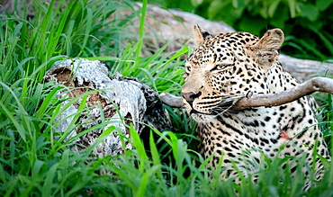 A leopard, Panthera pardus, lying down resting its head on a branch, ears back, Sabi Sands, Greater Kruger National Park, South Africa