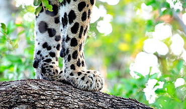 A leopard's front paws, Panthera pardus, on the bark of a tree, Sabi Sands, Greater Kruger National Park, South Africa