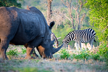 A white rhino, Ceratotherium simum, stands grazing in the foreground, a herd of zebra graze in the background, Equus quagga, Sabi Sands, Greater Kruger National Park, South Africa