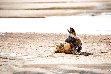A wild dog, Lycaon pictus, lies on the sand of the river bank, looking out of frame over shoulder, ears perked, Sabi Sands, Greater Kruger National Park, South Africa
