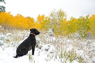 A black Labrador dog in snow, Uinta National Forest, Utah, USA