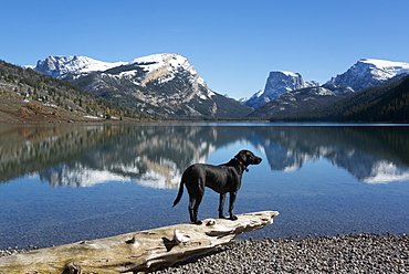 A black Labrador dog, Green River Lake, Wyoming, USA