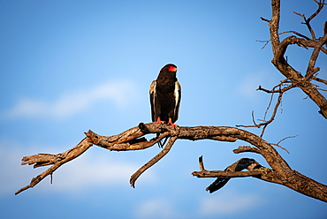 A Bateleur Terathopius ecaudatus perches on a branch against blue sky, Sabi Sands, South Africa