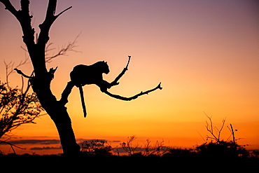 Sillhouette of a leopard Panthera pardus lying in a dead tree at sunset, Sabi Sands, South Africa