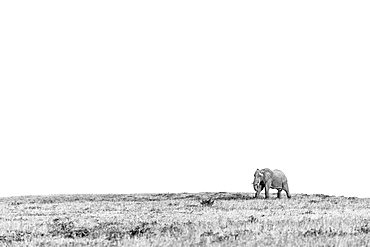 African elephant Loxodonta africana walking across an open plain, Sabi Sands, South Africa