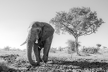 A male elephant Loxodonta africana walking towards the camera, Sabi Sands, South Africa
