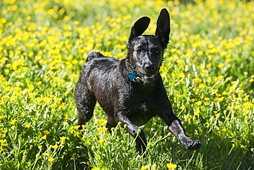A black Labrador dog running through wildflowers, with her ears flapping, Wasatch National Forest, Utah, USA