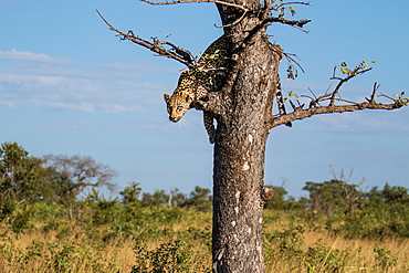 A leopard, Panthera pardus, glances down before jumping out of a tree, Sabi Sands, Greater Kruger National Park, South Africa