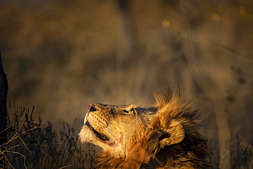A male lion, Panthera leo, gazes up in warm light, looking up, Sabi Sands, Greater Kruger National Park, South Africa
