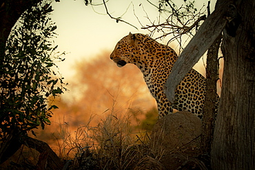 A male leopard, Panthera pardus, sits down, side profile against orange backdrop, Sabi Sands, Greater Kruger National Park, South Africa