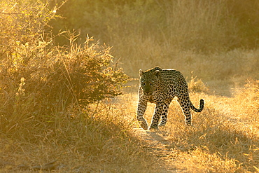 A leopard, Panthera pardus, walks in short grass in golden light, backlit, Sabi Sands, Greater Kruger National Park, South Africa
