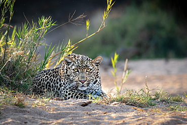 A female leopard, Panthera pardus, lies in sand, direct gaze, ears forward, Sabi Sands, Greater Kruger National Park, South Africa