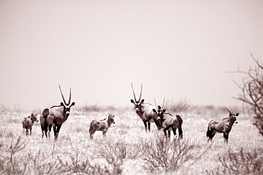 A herd of Oryx on the grassland of the Moremi Reserve, Botswana
