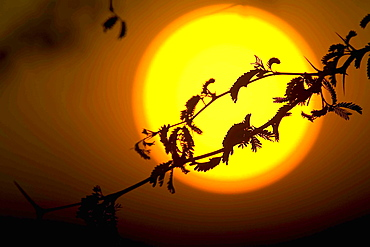 Silhouette of branch of tree in front of giant setting sun