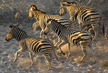 Herd of Burchell's Zebras running in the Moremi Reserve, Botswana