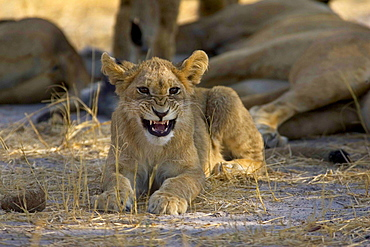 African lion, Panthera leo, cub lying on ground, snarling at camera, Moremi Reserve, Botswana