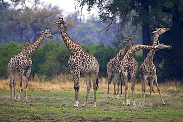 Small group of South African Giraffes, Camalopardalis Giraffa, Moremi Reserve, Botswana, Africa