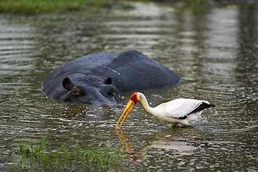 Hippopotamus looking at yellow-billed stork in a waterhole, Moremi Reserve, Botswana, Africa