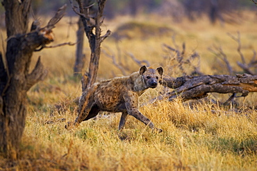 Hyena walking through grass in the Moremi Reserve, Botswana, Africa
