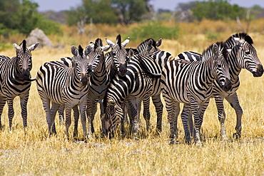 Herd of Burchell's Zebras, Moremi Reserve, Botswana